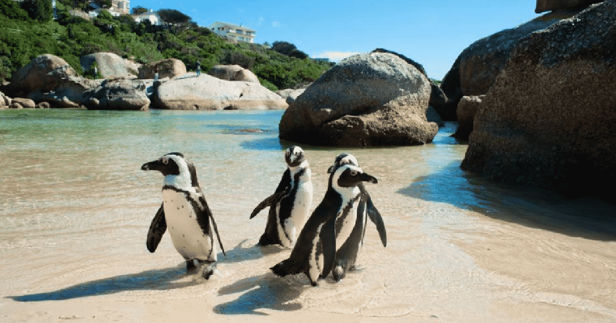 penguins on boulders beach cape town